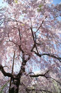 20090411 枝垂れ桜2