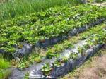 実家イチゴ畑