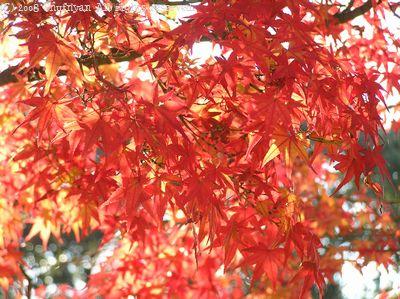 紅葉キラキラ
