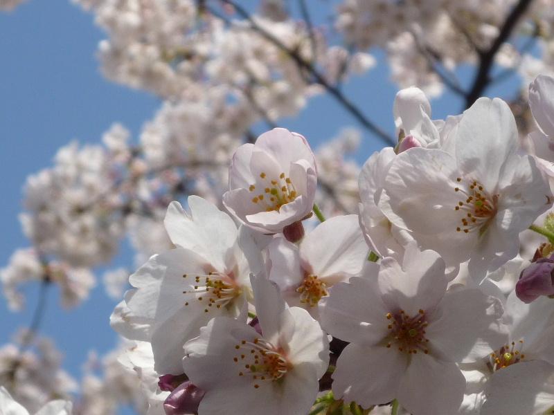 1.東京土山人(桜1)
