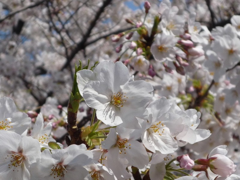 1.東京土山人(桜5)