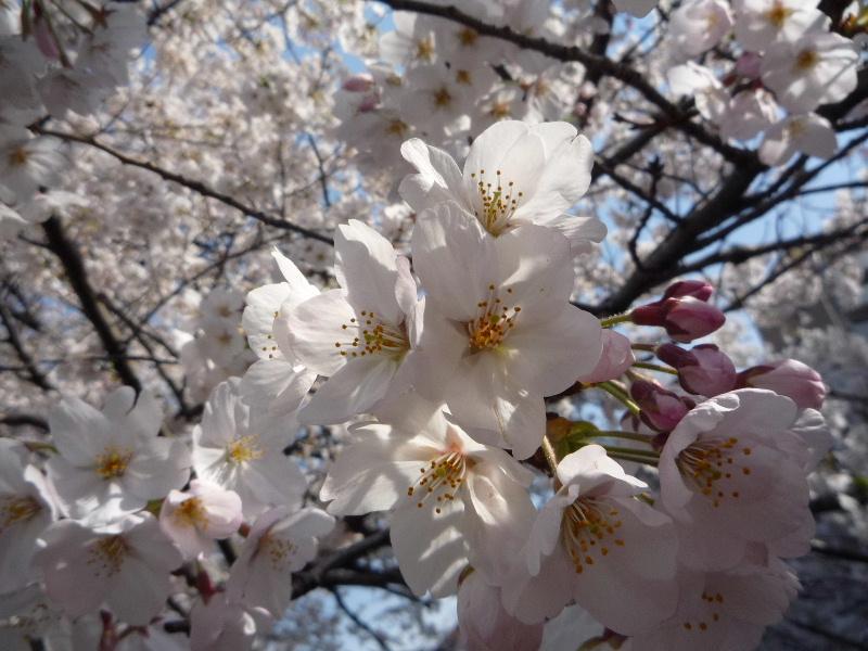 1.東京土山人(桜4)