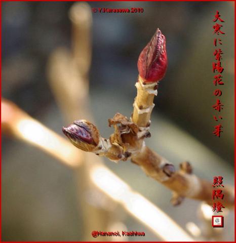 100126紫陽花の芽