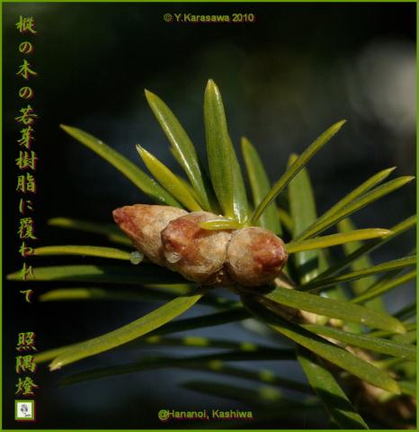 100206樅の芽