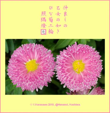 100215ひな菊