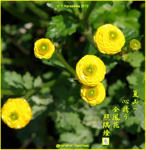 100218八重金鳳花