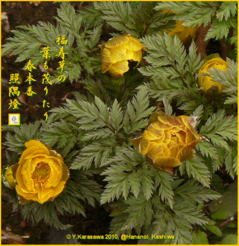 100226福寿草