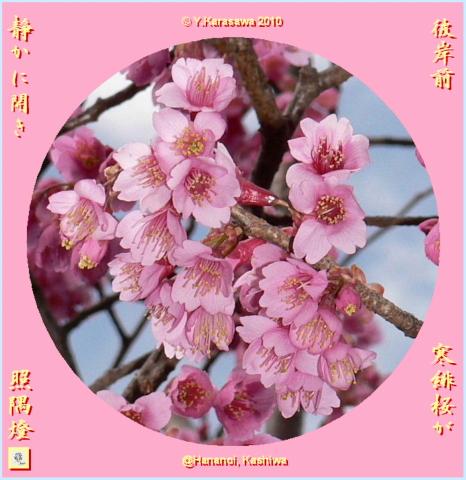 100319寒緋桜