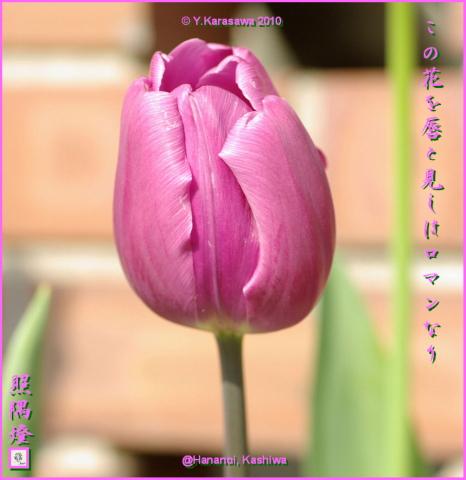 100320チューリップ紫