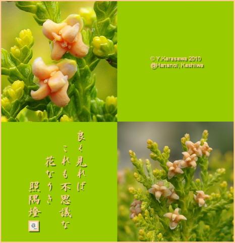 100331児の手柏の花