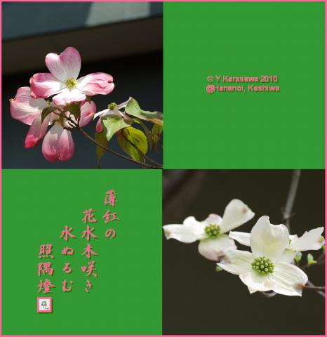 100423花水木