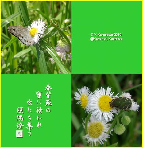 100427春紫苑と虫