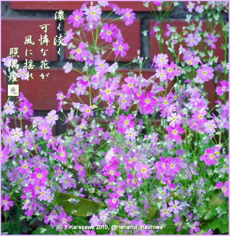 100501桜草