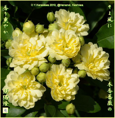 100507木香薔薇