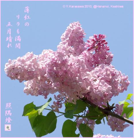 100512ライラック桜色