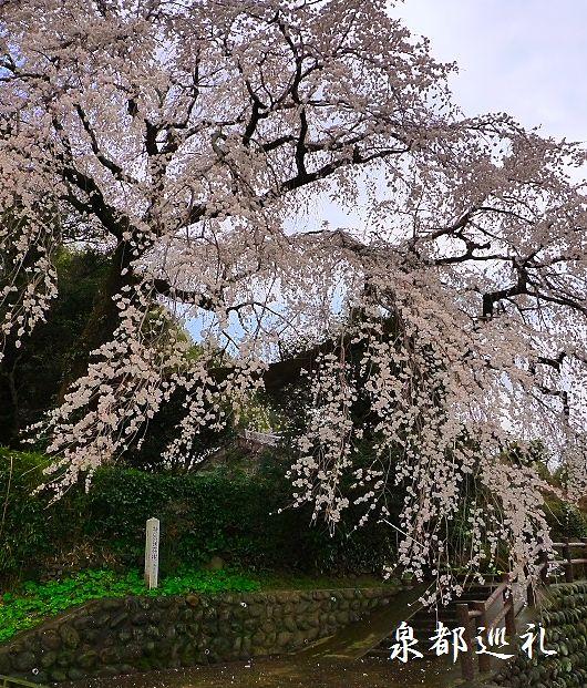 20100320ooharaoosidarezakura004_20100401222956.jpg