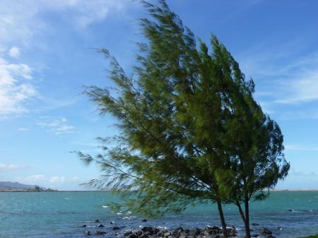 マウイ島の風に吹かれる木