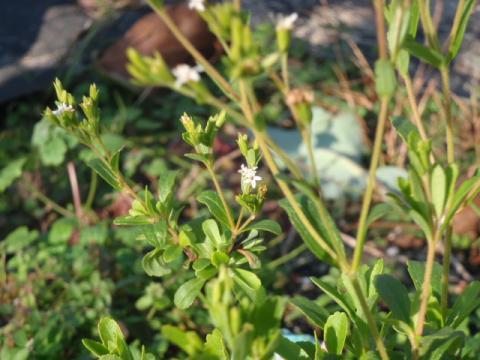ナゼか咲いているステビアの花