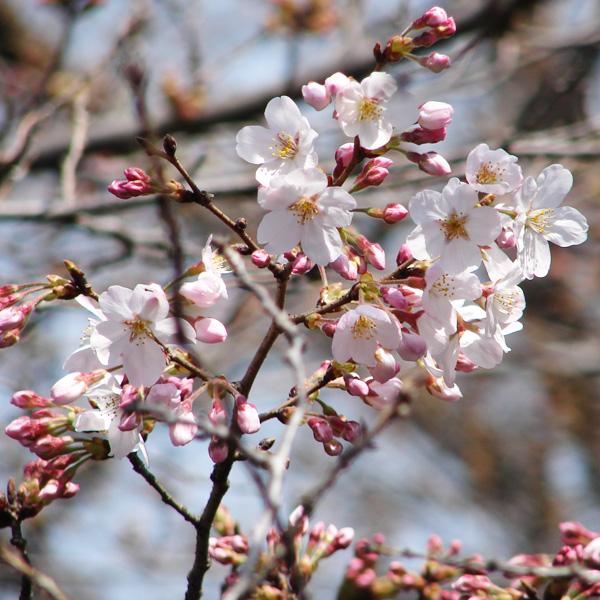 sakura-01-090321.jpg