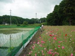 カルガモ農法