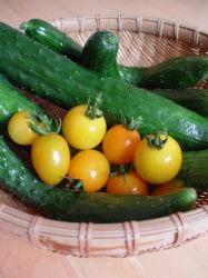 今年の初ミニトマト