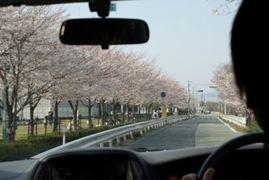 車窓から桜