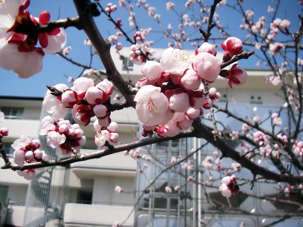 勤務先の桃の花