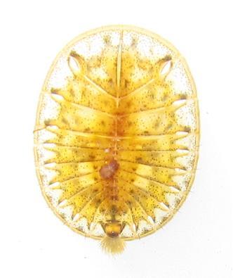 チビヒラタドロムシ属の一種