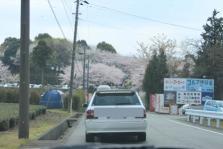 岩本山花見