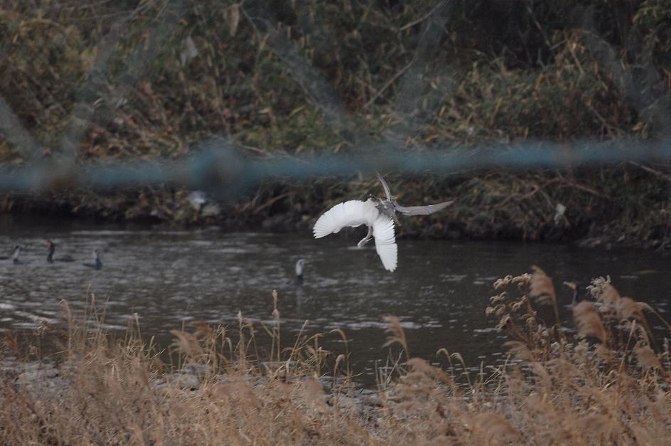 DSC_0018-200109大栗川オオタカ狩りⅠ-B