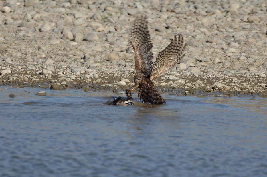 DSC_1441-180117多摩川オオタカ幼鳥狩りⅠ-B
