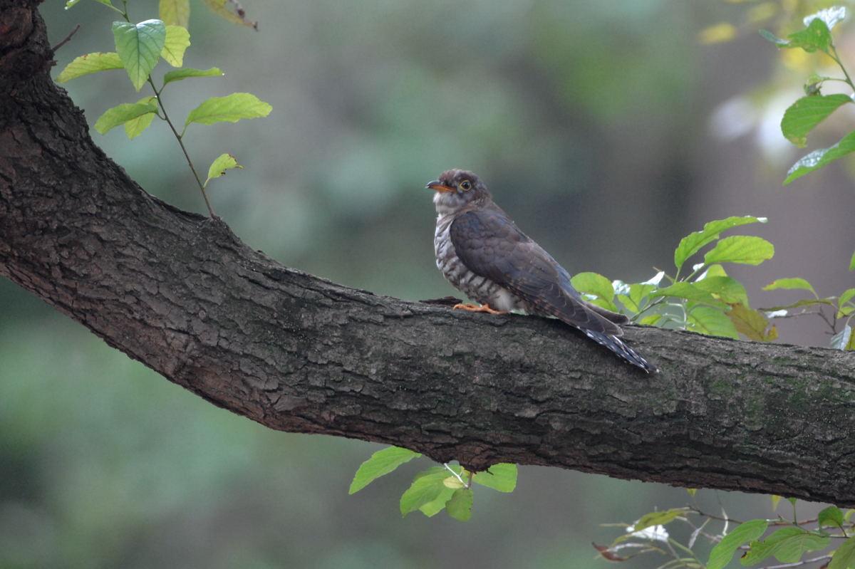 DSC_2339-191101秋が瀬ツツドリ赤色型幼鳥-B
