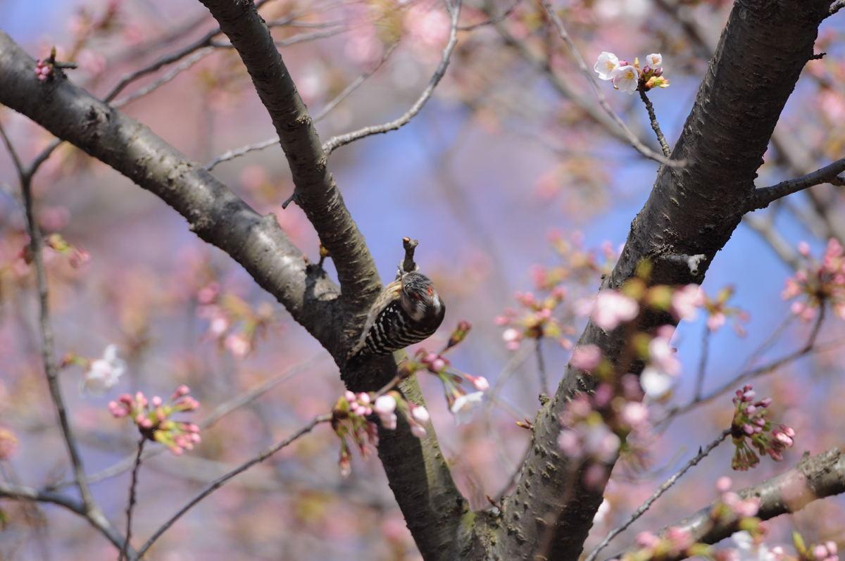 DSC_7449-210403多磨霊園コゲラNT-B
