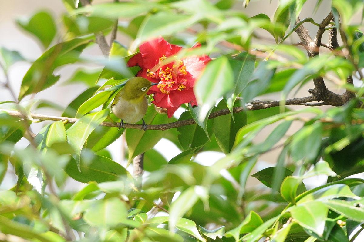 DSC_2313-210315武蔵野公園メジロ-B