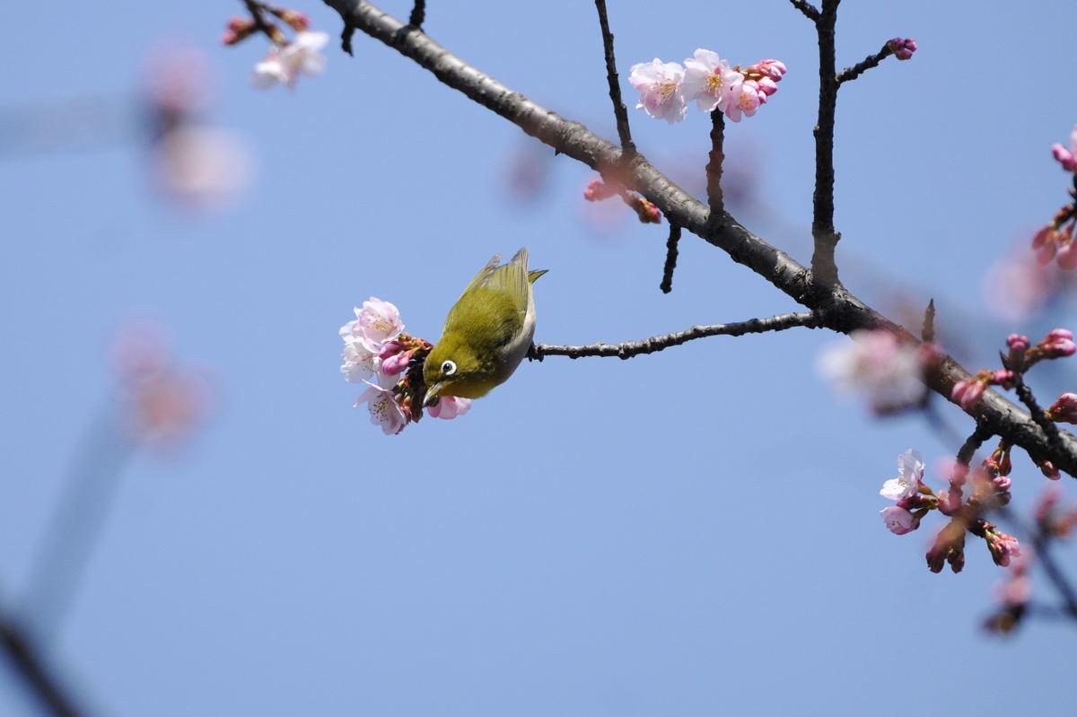 DSC_2200-210305武蔵野公園メジロ-B