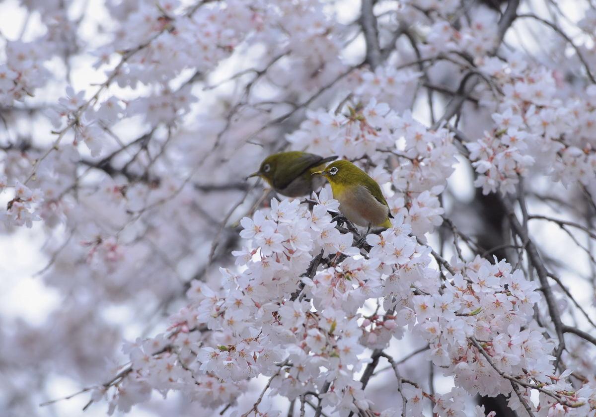 DSC_5582-210324多磨霊園メジロ花園?-B