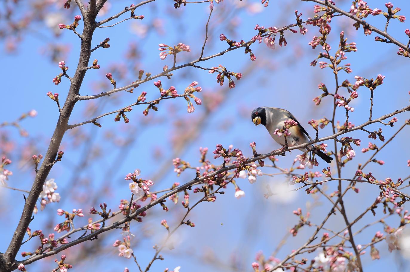 DSC_7631-210403桜コイカル全-B