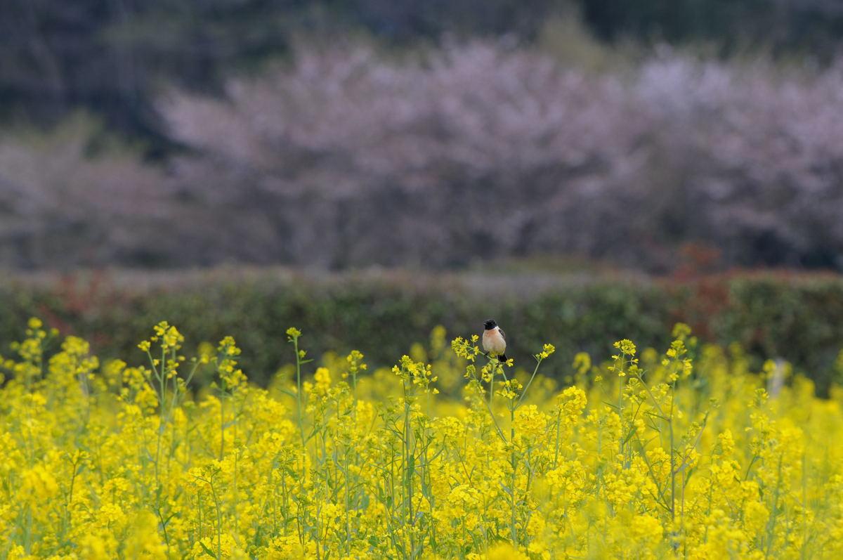 DSC_3514-220417巾着田ノビタキ-B
