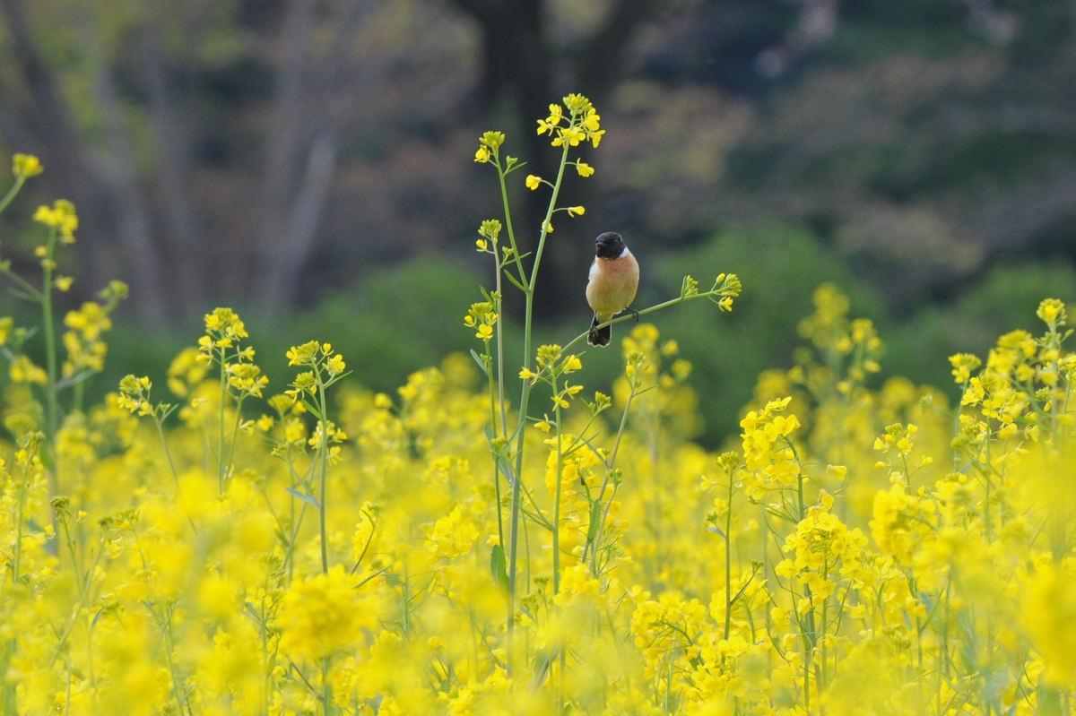 DSC_3530-220417巾着田菜の花ノビタキ-B