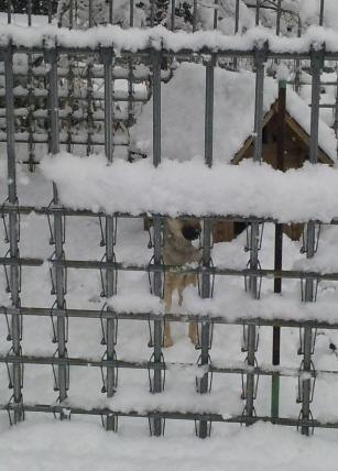 雪深いよつば。