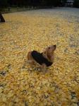 いちょう葉絨毯