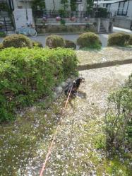 桜散るP1050028