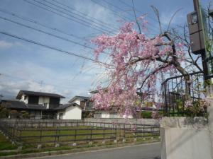 ひとんちの桜P1050034