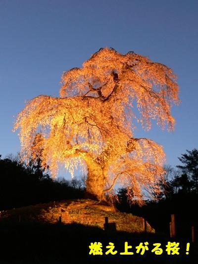 燃え上がる桜