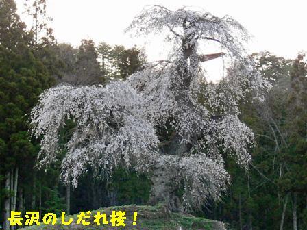 長沢のしだれ桜③