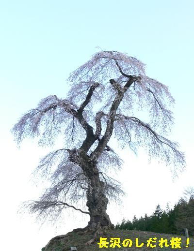 長沢のしだれ桜①