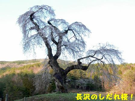 長沢のしだれ桜②