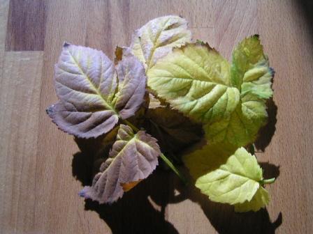 紅葉&落葉したボイセンベリーの葉っぱたち