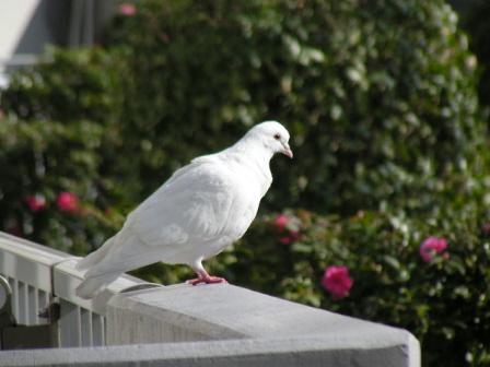 真っ白い重量級の鳩です。「幸せの白い鳩?」