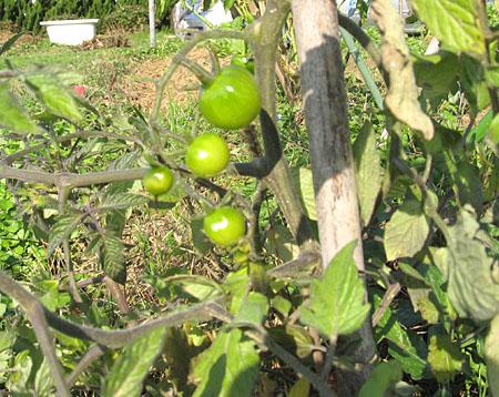 h-tomato-2.jpg